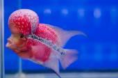 Flowerhorn Cichlid fish — Stock Photo