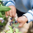 Picking blueberries — Stock Photo #53638749