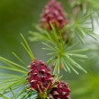 Larch branch with cones — Stock Photo #72919875