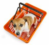 Dog jack russell terrier sitting in a shopping cart — Stock Photo