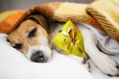 Sleeping dog with Present box gift — Stock Photo