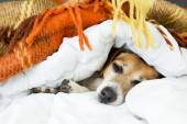 Cute dog is sleeping in bed — Stock Photo