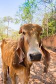 Animal cow bull brahman look at the camera — Stock Photo