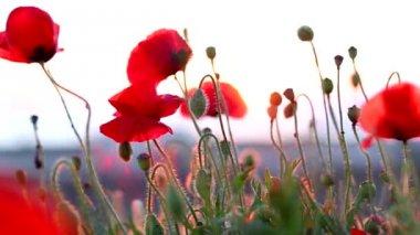 赤いケシ — ストックビデオ