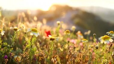 Beautiful Wildflowers on the mountain — Stock Video