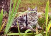 Main coon young cat on the autumn park background — Stock Photo