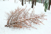 Waisted dead chrismas tree after party — Foto Stock