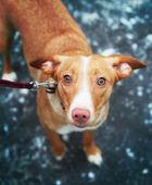 Dog, labrador, dogs, hair, red, animal, funny, retriever, tongue — Stock Photo