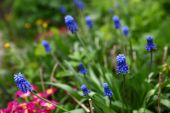 Blu hyacinth on the summer green garden background — Stock Photo