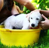 子供が夏の庭の背景に黄色の流域における浮遊白い子犬を洗う — ストック写真