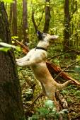 Shepherd puppy hunting for bird in the summer forest — Stock Photo
