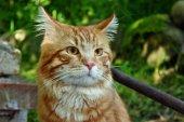 Red cat — Stok fotoğraf