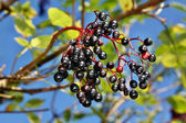 Holunder-früchte — Stockfoto