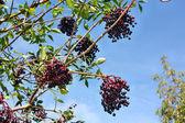 Elderberry fruits — Stock Photo