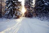 Winter forest backgrounds — Stock fotografie