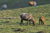 Kamerun moutons — Photo