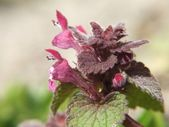 Dead nettle (Lamium sp.), — Stockfoto