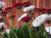 The daisy (Bellis perennis) — Stockfoto