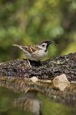 Tree Sparrow (Passer montanus) — Stock Photo