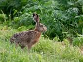 The rabbit — Stock Photo