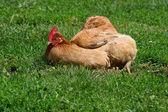 Kura opalania — Zdjęcie stockowe