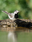Wagtail groove. — Stock Photo