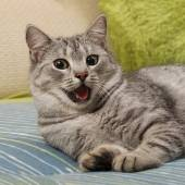 Very tired cat on a sofa, cat with open mouth in blur background, Cat portrait close up, only head crop, yawning cat close up in blur background, funny cat,relaxing cat,curious cat,cat with open mouth — Stock Photo