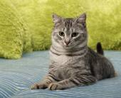 Cat portrait close up, domestic cat on a sofa looking down, shiny cat, cat in blur background with space for advertising and text, young elegant cat, cat at home, domestic cat — Stock Photo