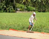 Bohol, Philippines - Feb 3: man working in the rice field, man drying rice on the road in Bohol island, Philippines,Feb 3, 2013. Men working in Bohol island, Philippines nature, Asia.Daily life — Stock Photo