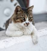 Cat portrait close up, serious looking cat in blurry background looking at the viewer with space for advertising and text, cat resting in the street on day time, lazy cat, funny cat, street cat — Stock Photo