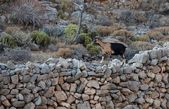 One big wild goat in the mountains on early morning sunrise, popular animal in Greece — 图库照片