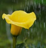 Golden Calla Lily Zantedeschia elliottiana in stormy rain background,Zantedeschia is genus in Araceae family from Southern Africa,Golden Calla Lily flower with rain drops, artistic photo of Calla Lily — Stock Photo