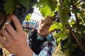 Young Man Harvesting Grapes — Stock Photo