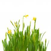 Flowers spring bloom daffodils isolated white background — Stock Photo