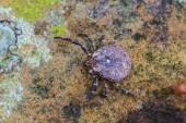 Parasite tick on ground — Foto de Stock