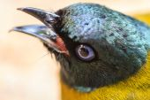 Black-headed Bulbul, Pycnonotus atriceps — Stock Photo