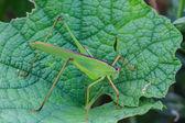 Kobylka sedící na list — Stock fotografie