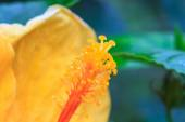 Hibiscus flowers are a genus of flowering plants in the mallow f — Stock Photo