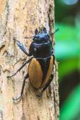 Insect, beetle, bug, in genus Odontolabis — Stock Photo