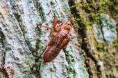 Cicada shell which leave on the tree — Stock Photo
