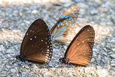 Beautiful Butterfly on ground — Stock Photo