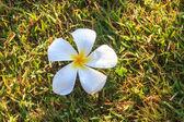 在绿色草地上的鸡蛋花的花 — 图库照片