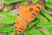 Peacock pansy Butterflies injury  — Stock Photo