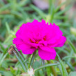 Portulaca flowers at the garden — Stock Photo #64885773
