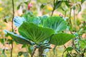 Kale vegetable — Stock Photo