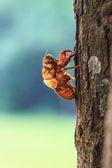 Cicada shell — Stock Photo