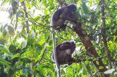 Dusky Langur sitting on tree branch — Stock Photo