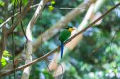 Colorful bird long tailed broadbill on tree branch — Stockfoto