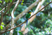 Colorful bird long tailed broadbill on tree branch — Foto Stock
