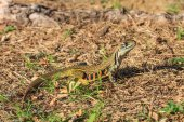 Butterfly lizard(Leiolepidinae) in nature — Stock Photo
